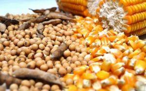 Soja e milho