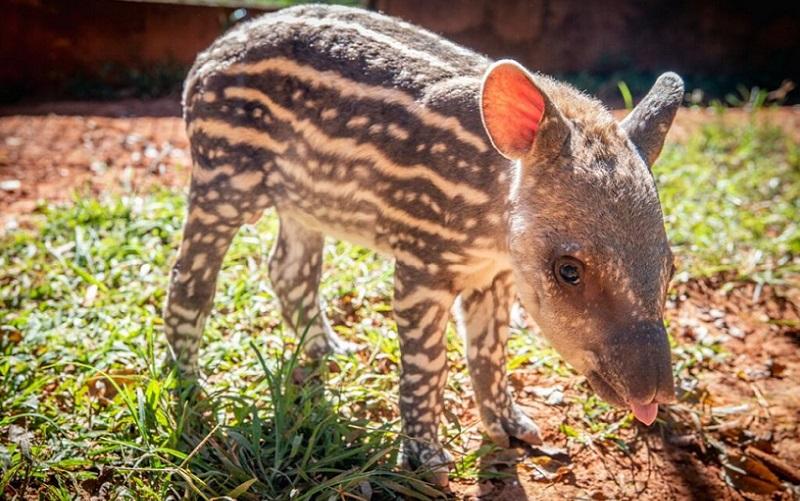Filhote de anta Zoológico de Brasília
