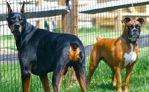 Cachorros doberman e boxer