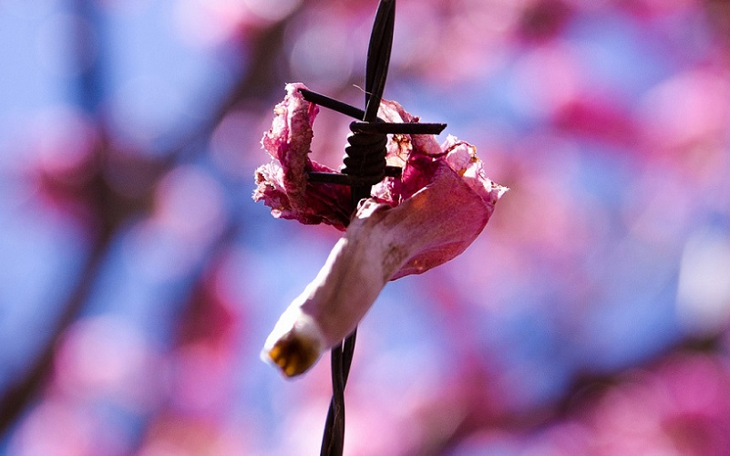 Flor cerca de arame