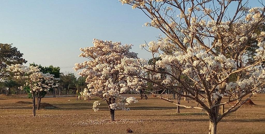 Ipê-branco Distrito Federal Brasília